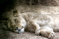 Lioness Resting