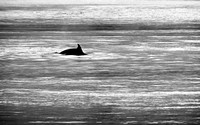 Black and white Dolphin silhouette at dusk